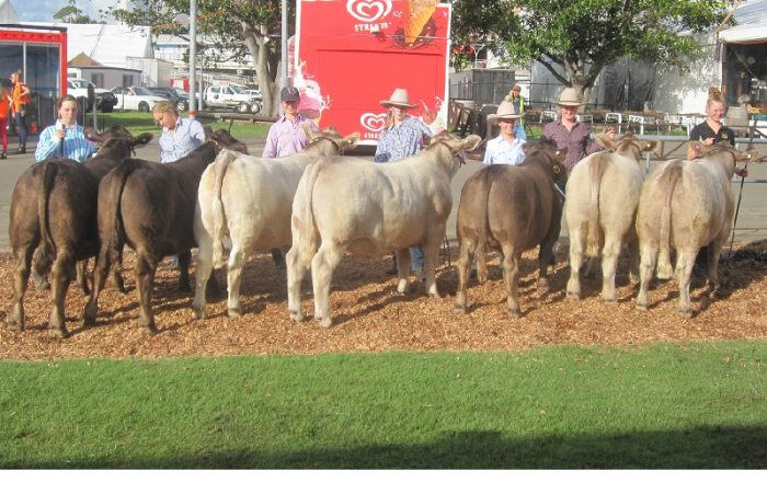 Square Meaters Steers at Royal Sydney Show 2017